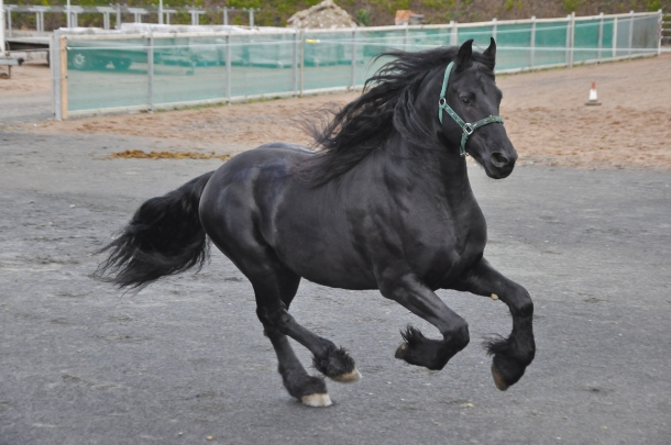 Friesian Horses For Sale, Northern Ireland, Ballymena